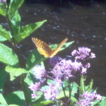 Greater Fritillary butterfly feeding on Joe Pye Weed