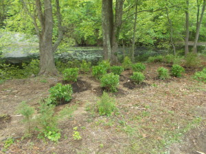 Restored riparian buffer at the Oswegatchie Hills Nature Preserve in East Lyme